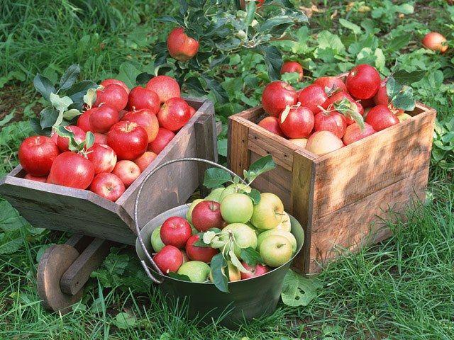 Як робити мочені яблука