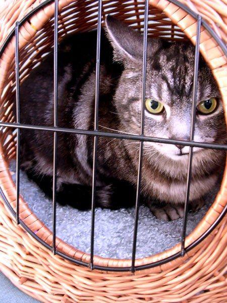 Як робити уколи внутрішньом`язово коту