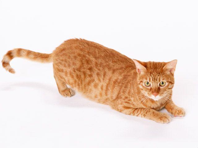 внутрішньом`язово укол кішкам відео