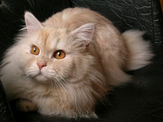 як колоти кішку внутрішньом`язово