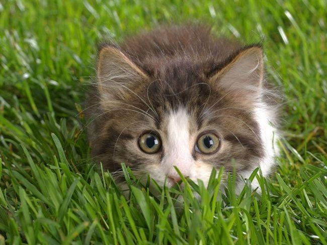 як правильно зробити Рінгера кошеняті