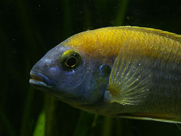 Лікування іхтіофтіріоза в акваріумі