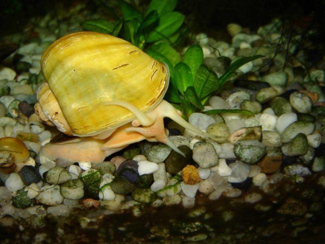 Як годувати акваріумну равлика
