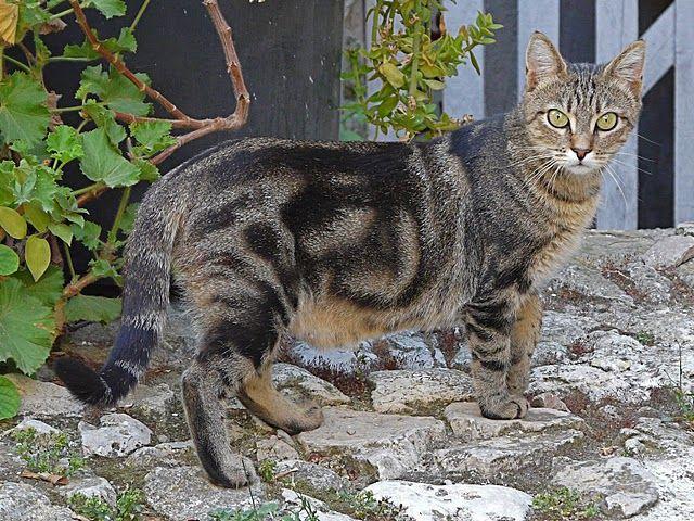 Як дізнатися, що кішка вагітна