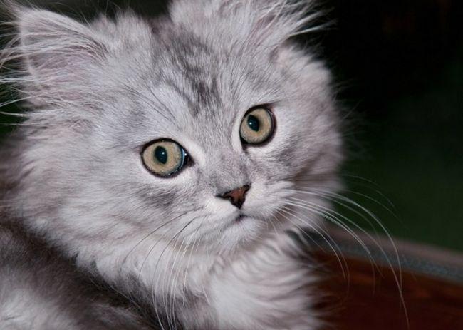 Як виростити кішку