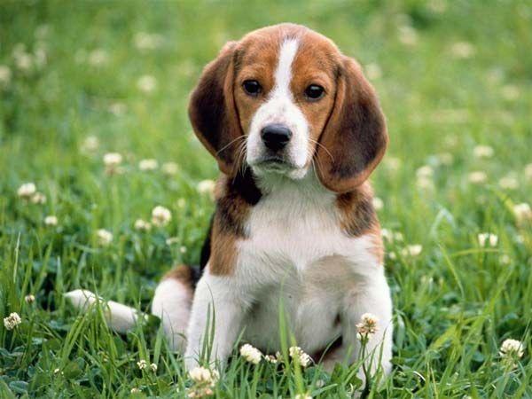 Як вивести кліща у собаки