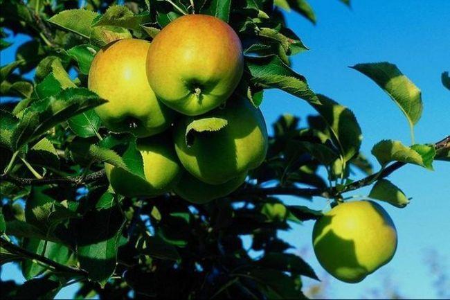 Яблука і їх користь в схудненні