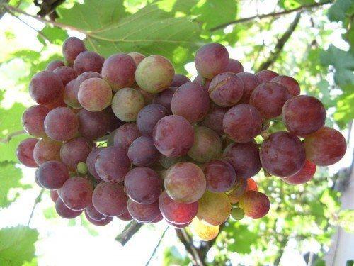 Корисні властивості винограду лідія